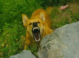 snarling-dog